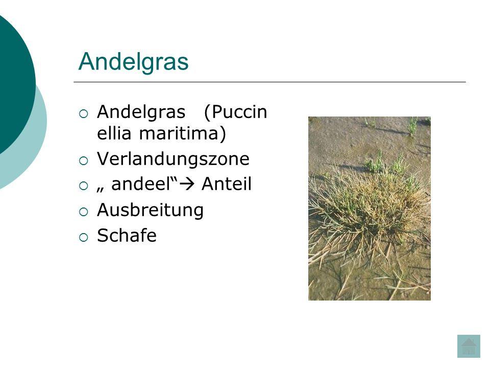 Andelgras Andelgras (Puccin ellia maritima) Verlandungszone andeel Anteil Ausbreitung Schafe