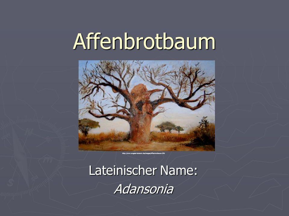 Affenbrotbaum Lateinischer Name: Adansonia http://www.angela-hamann.de/images/Affenbrotbaum.JPG