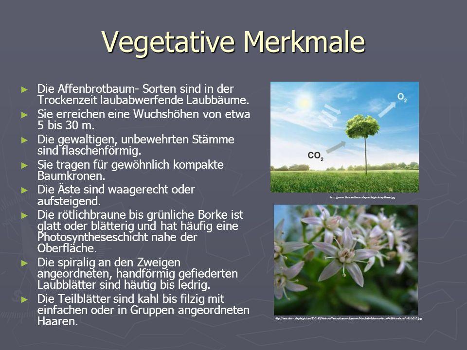 Vegetative Merkmale Die Affenbrotbaum- Sorten sind in der Trockenzeit laubabwerfende Laubbäume.