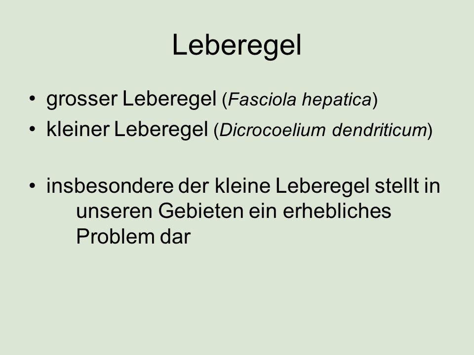 Leberegel grosser Leberegel (Fasciola hepatica) kleiner Leberegel (Dicrocoelium dendriticum) insbesondere der kleine Leberegel stellt in unseren Gebieten ein erhebliches Problem dar