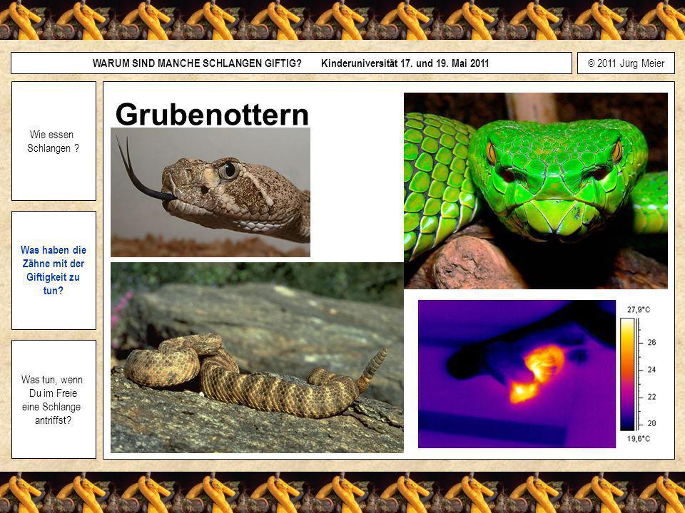 © 2011 Jürg Meier WARUM SIND MANCHE SCHLANGEN GIFTIG? Kinderuniversität 17. und 19. Mai 2011 Wie essen Schlangen ? Was haben die Zähne mit der Giftigk
