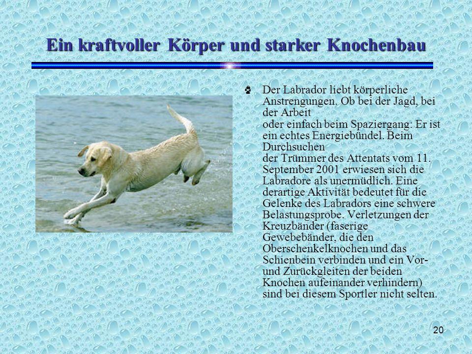 20 Ein kraftvoller Körper und starker Knochenbau Der Labrador liebt körperliche Anstrengungen.