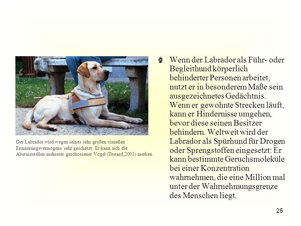 25 Der Labrador wird wegen seines sehr großen visuellen Erinnerungsvermögens sehr geschätzt: Er kann sich die Absturzstellen mehrerer geschossener Vögel (Testard,2003) merken.