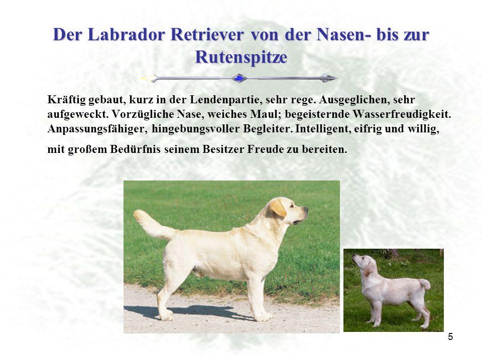 5 Der Labrador Retriever von der Nasen- bis zur Rutenspitze Kräftig gebaut, kurz in der Lendenpartie, sehr rege.