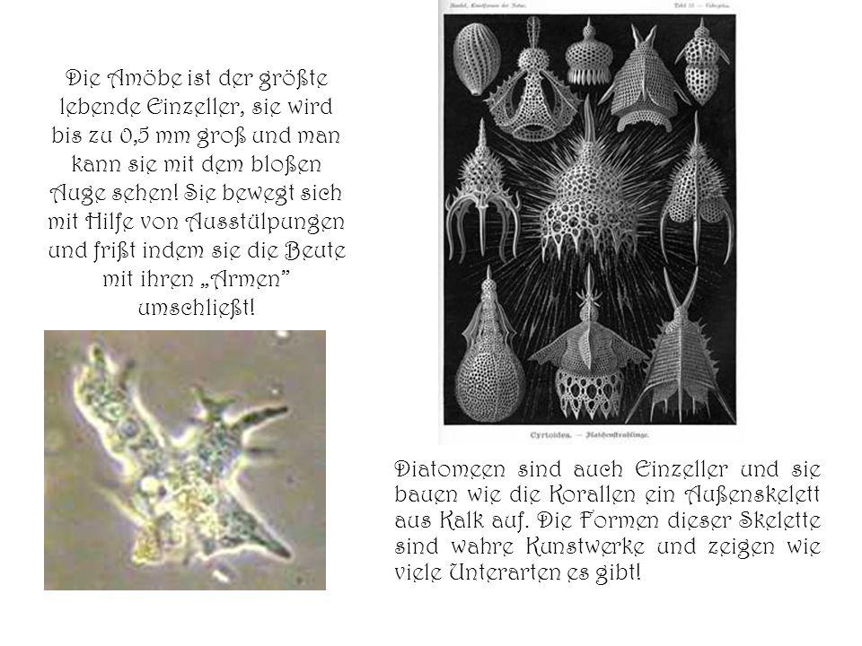 Die Amöbe ist der größte lebende Einzeller, sie wird bis zu 0,5 mm groß und man kann sie mit dem bloßen Auge sehen! Sie bewegt sich mit Hilfe von Auss
