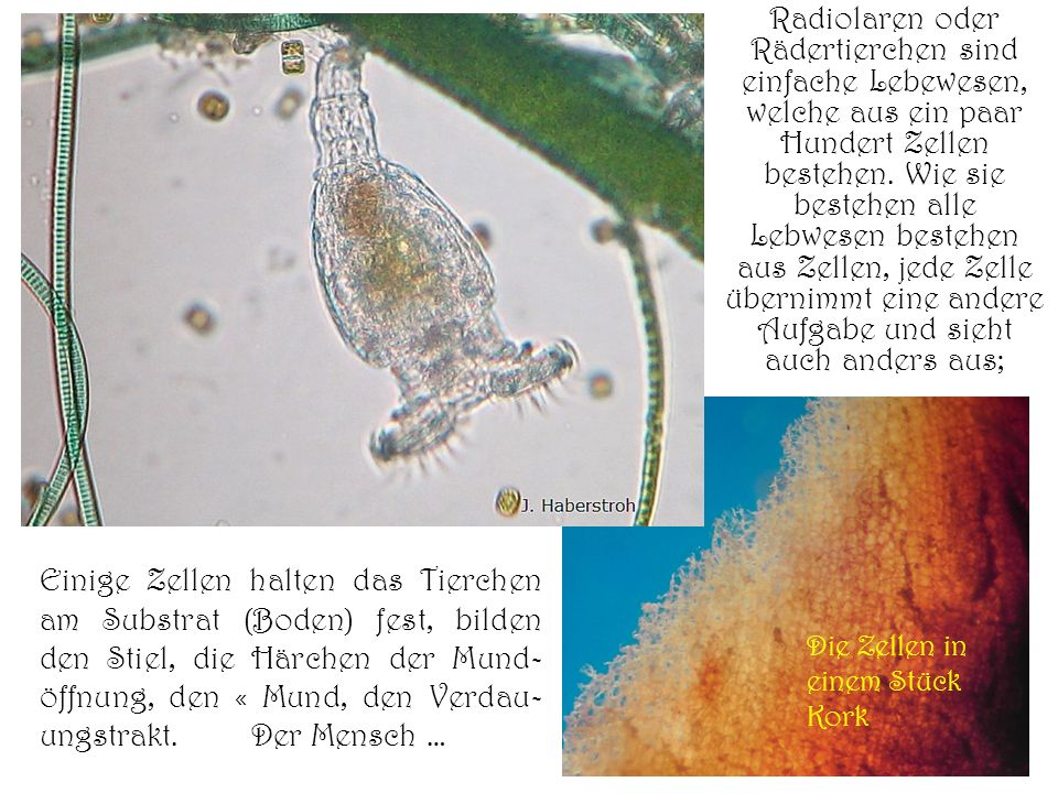 Radiolaren oder Rädertierchen sind einfache Lebewesen, welche aus ein paar Hundert Zellen bestehen. Wie sie bestehen alle Lebwesen bestehen aus Zellen
