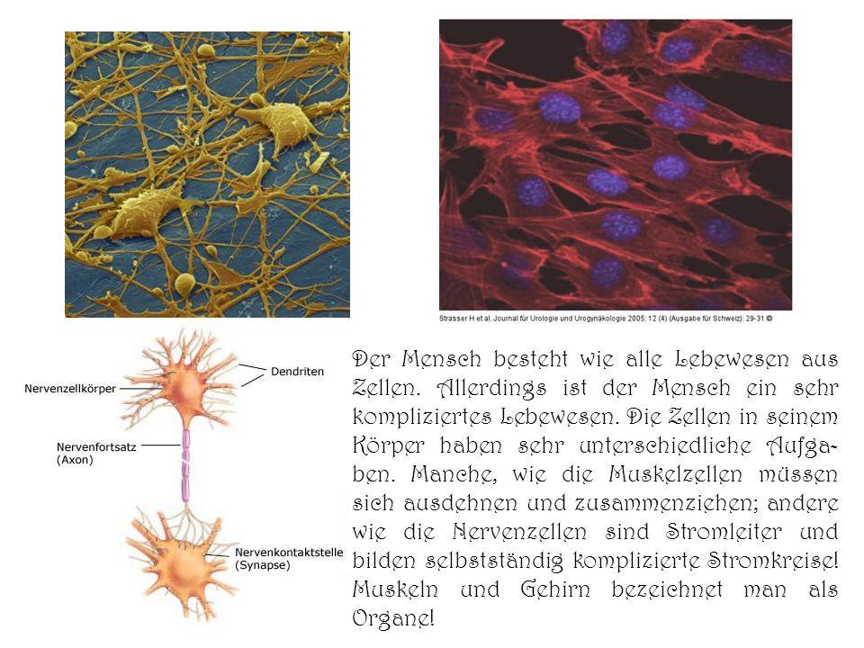 Der Mensch besteht wie alle Lebewesen aus Zellen. Allerdings ist der Mensch ein sehr kompliziertes Lebewesen. Die Zellen in seinem Körper haben sehr u