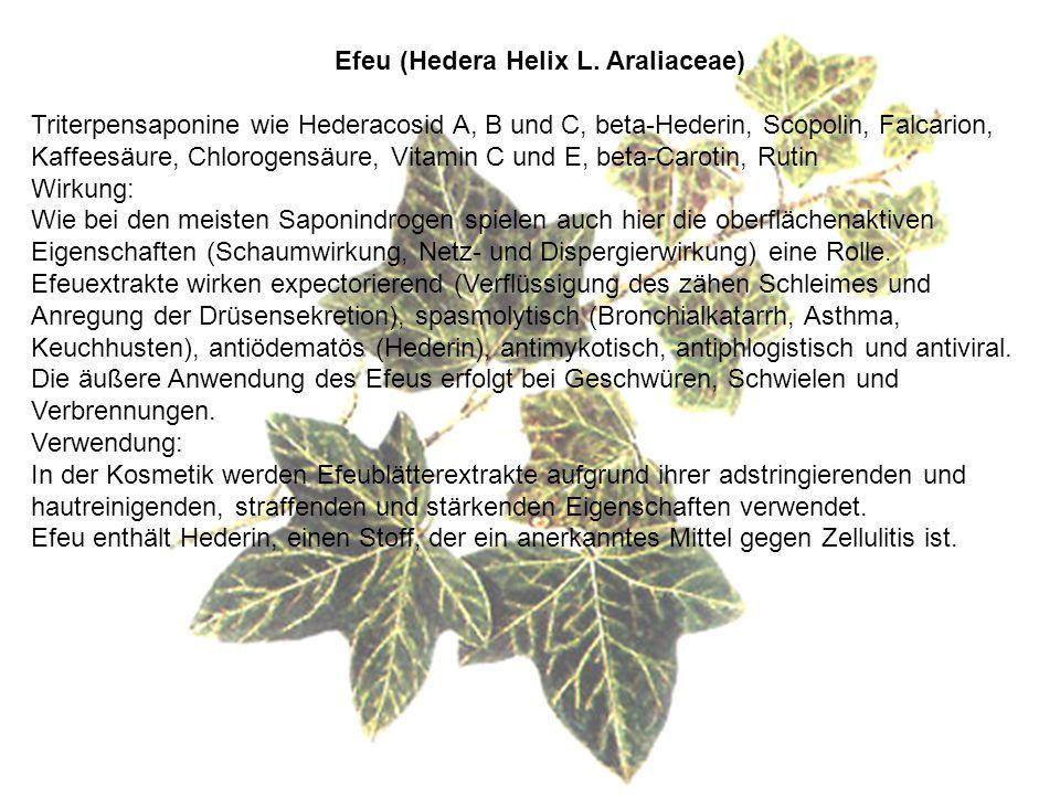 Efeu (Hedera Helix L.