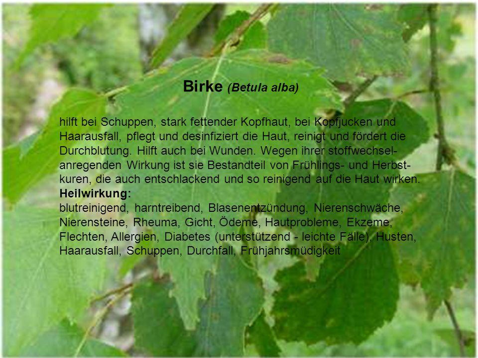 Birke (Betula alba) hilft bei Schuppen, stark fettender Kopfhaut, bei Kopfjucken und Haarausfall, pflegt und desinfiziert die Haut, reinigt und fördert die Durchblutung.