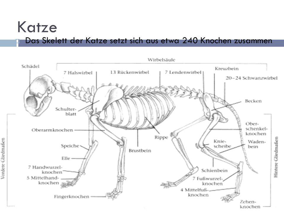 Katze Das Skelett der Katze setzt sich aus etwa 240 Knochen zusammen.