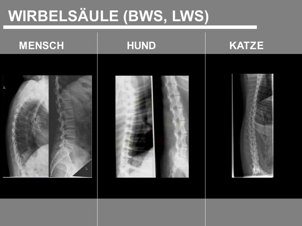 MENSCHKATZEHUND WIRBELSÄULE (BWS, LWS)