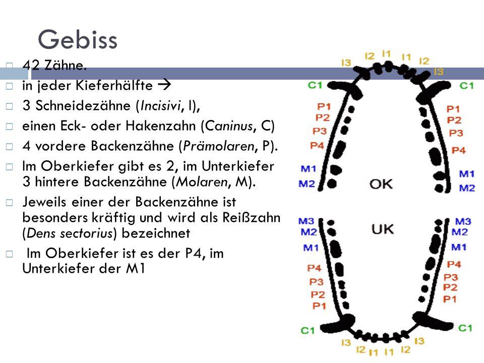 Wirbelsäule 7 Hals 13 Brust 7 Lenden 3 Kreuzwirbel (zum Kreuzbein zusammen gewachsen.