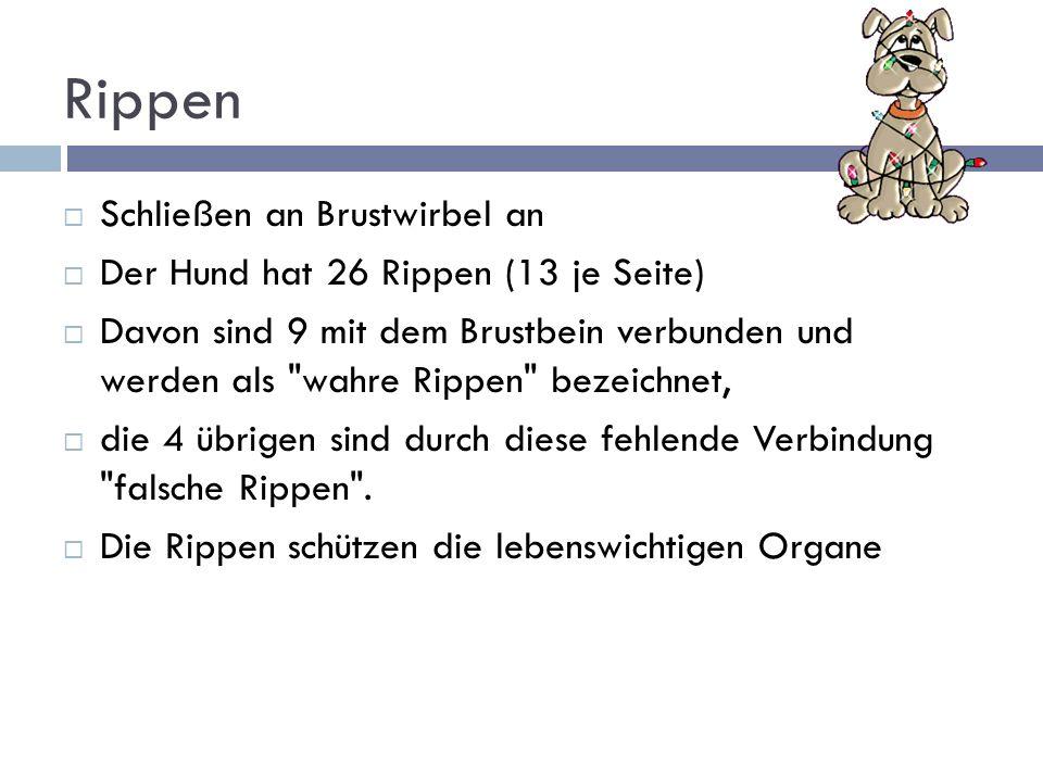 Rippen Schließen an Brustwirbel an Der Hund hat 26 Rippen (13 je Seite) Davon sind 9 mit dem Brustbein verbunden und werden als