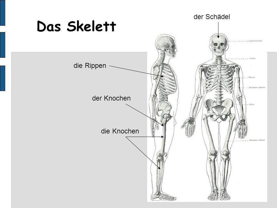 Das Skelett die Rippen der Schädel der Knochen die Knochen