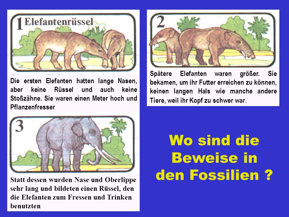 Damals (vor Millionen von Jahren!) begannen bei zunächst kalbsgroßen Tieren zwei der vorderen Schneidezähne schneller als die ebenfalls von Generation