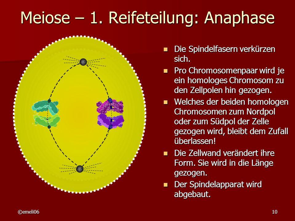 ©emeli0610 Meiose – 1. Reifeteilung: Anaphase Die Spindelfasern verkürzen sich. Die Spindelfasern verkürzen sich. Pro Chromosomenpaar wird je ein homo