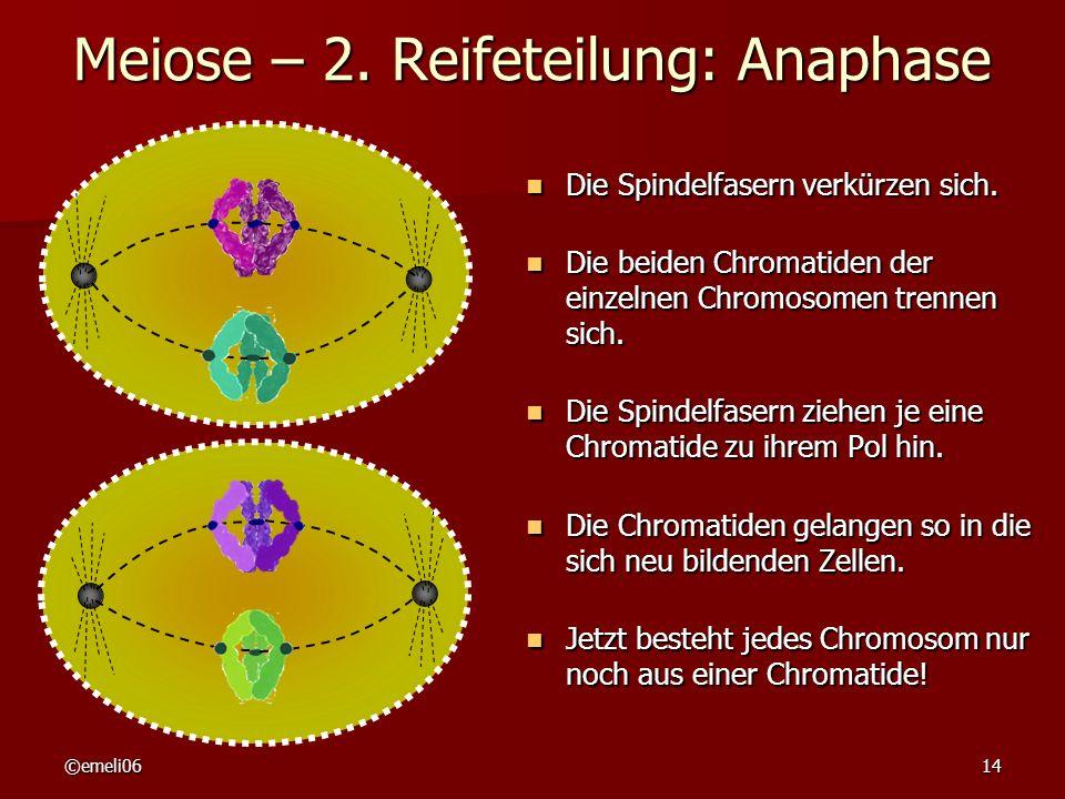 ©emeli0614 Meiose – 2. Reifeteilung: Anaphase Die Spindelfasern verkürzen sich. Die Spindelfasern verkürzen sich. Die beiden Chromatiden der einzelnen