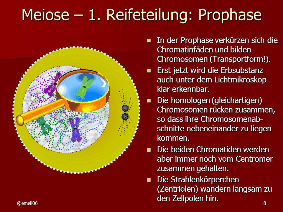 ©emeli068 Meiose – 1. Reifeteilung: Prophase In der Prophase verkürzen sich die Chromatinfäden und bilden Chromosomen (Transportform!). In der Prophas