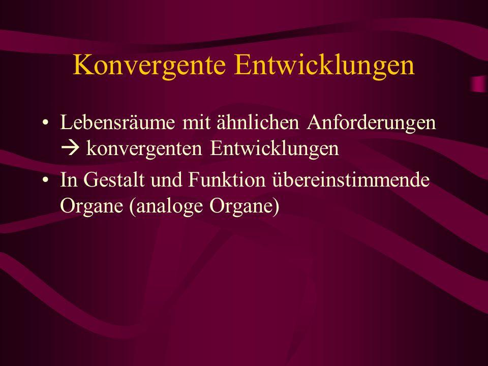 Konvergente Entwicklungen Lebensräume mit ähnlichen Anforderungen konvergenten Entwicklungen In Gestalt und Funktion übereinstimmende Organe (analoge