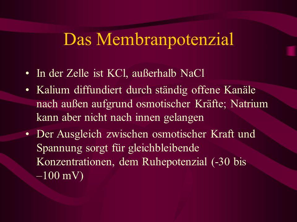 Das Membranpotenzial In der Zelle ist KCl, außerhalb NaCl Kalium diffundiert durch ständig offene Kanäle nach außen aufgrund osmotischer Kräfte; Natri