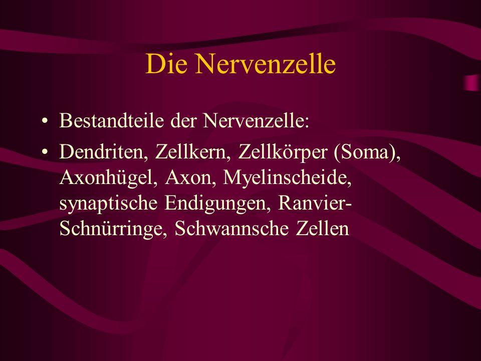 Die Nervenzelle Bestandteile der Nervenzelle: Dendriten, Zellkern, Zellkörper (Soma), Axonhügel, Axon, Myelinscheide, synaptische Endigungen, Ranvier-