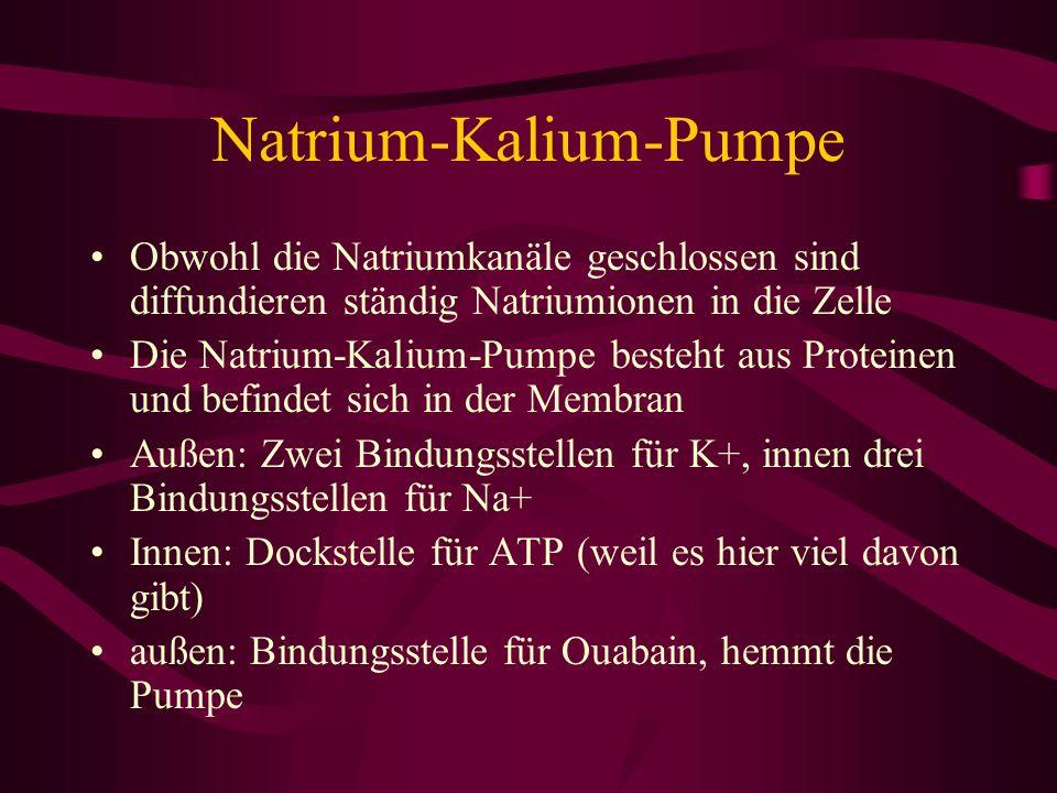 Natrium-Kalium-Pumpe Obwohl die Natriumkanäle geschlossen sind diffundieren ständig Natriumionen in die Zelle Die Natrium-Kalium-Pumpe besteht aus Pro