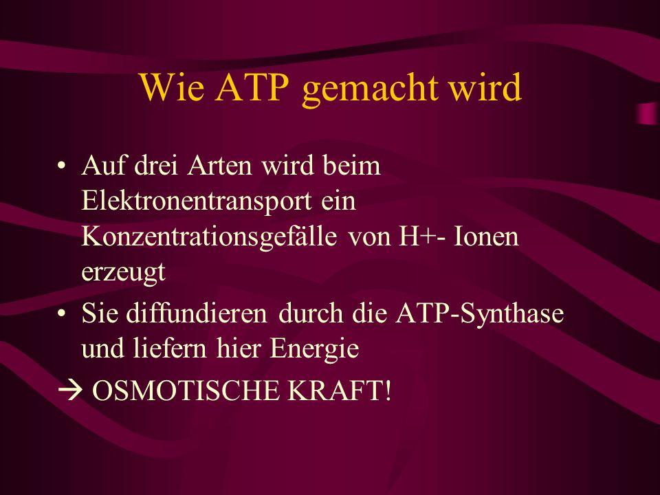 Wie ATP gemacht wird Auf drei Arten wird beim Elektronentransport ein Konzentrationsgefälle von H+- Ionen erzeugt Sie diffundieren durch die ATP-Synth