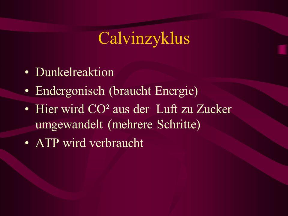 Calvinzyklus Dunkelreaktion Endergonisch (braucht Energie) Hier wird CO² aus der Luft zu Zucker umgewandelt (mehrere Schritte) ATP wird verbraucht