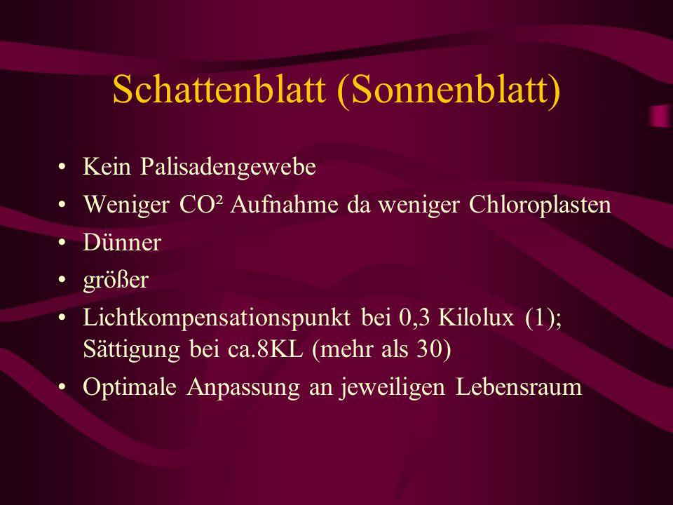 Schattenblatt (Sonnenblatt) Kein Palisadengewebe Weniger CO² Aufnahme da weniger Chloroplasten Dünner größer Lichtkompensationspunkt bei 0,3 Kilolux (