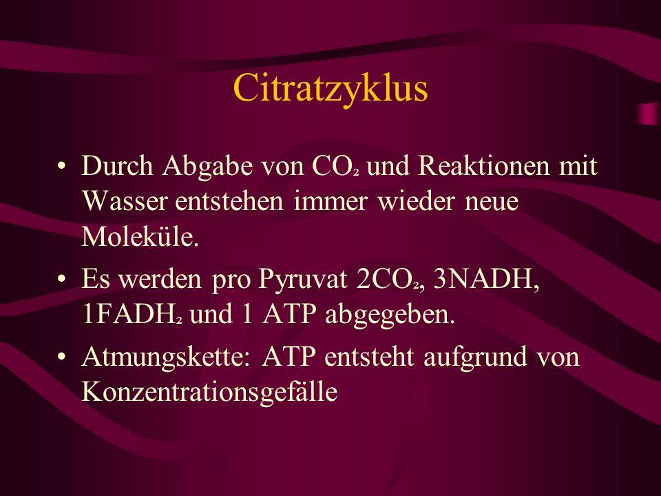 Citratzyklus Durch Abgabe von CO ² und Reaktionen mit Wasser entstehen immer wieder neue Moleküle. Es werden pro Pyruvat 2CO ², 3NADH, 1FADH ² und 1 A