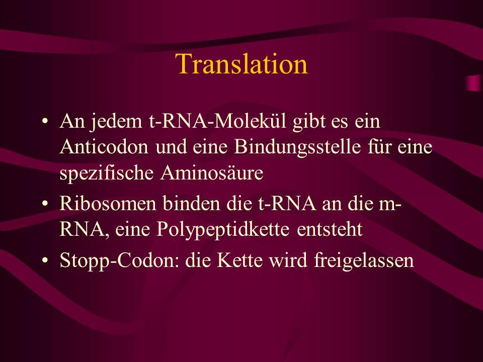 Translation An jedem t-RNA-Molekül gibt es ein Anticodon und eine Bindungsstelle für eine spezifische Aminosäure Ribosomen binden die t-RNA an die m-
