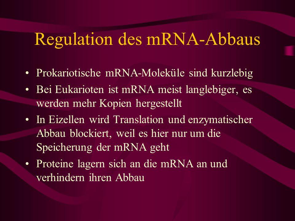 Regulation des mRNA-Abbaus Prokariotische mRNA-Moleküle sind kurzlebig Bei Eukarioten ist mRNA meist langlebiger, es werden mehr Kopien hergestellt In
