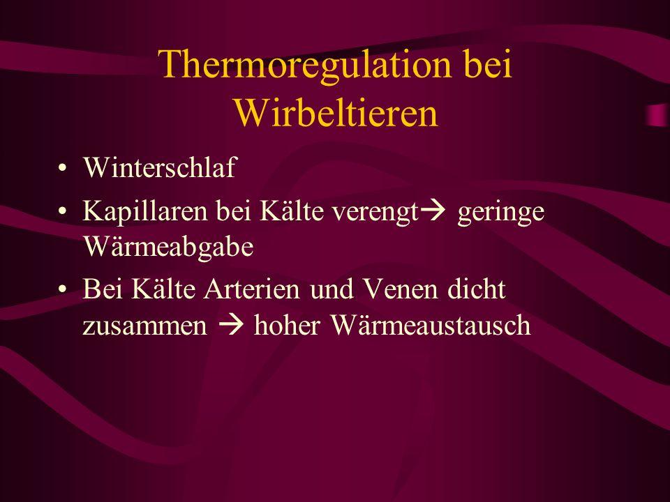 Thermoregulation bei Wirbeltieren Winterschlaf Kapillaren bei Kälte verengt geringe Wärmeabgabe Bei Kälte Arterien und Venen dicht zusammen hoher Wärm