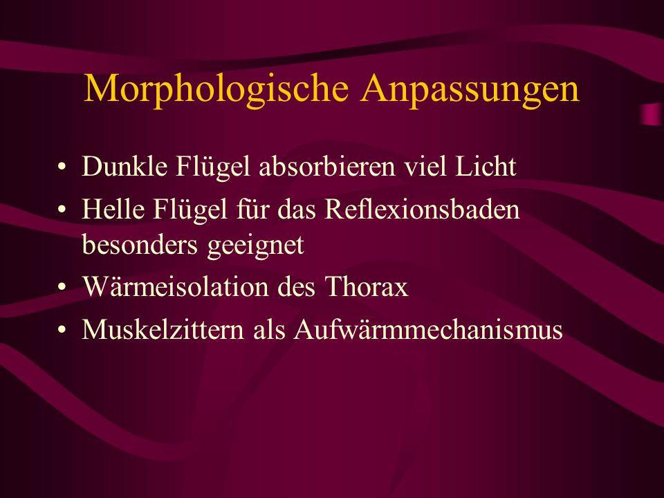 Morphologische Anpassungen Dunkle Flügel absorbieren viel Licht Helle Flügel für das Reflexionsbaden besonders geeignet Wärmeisolation des Thorax Musk