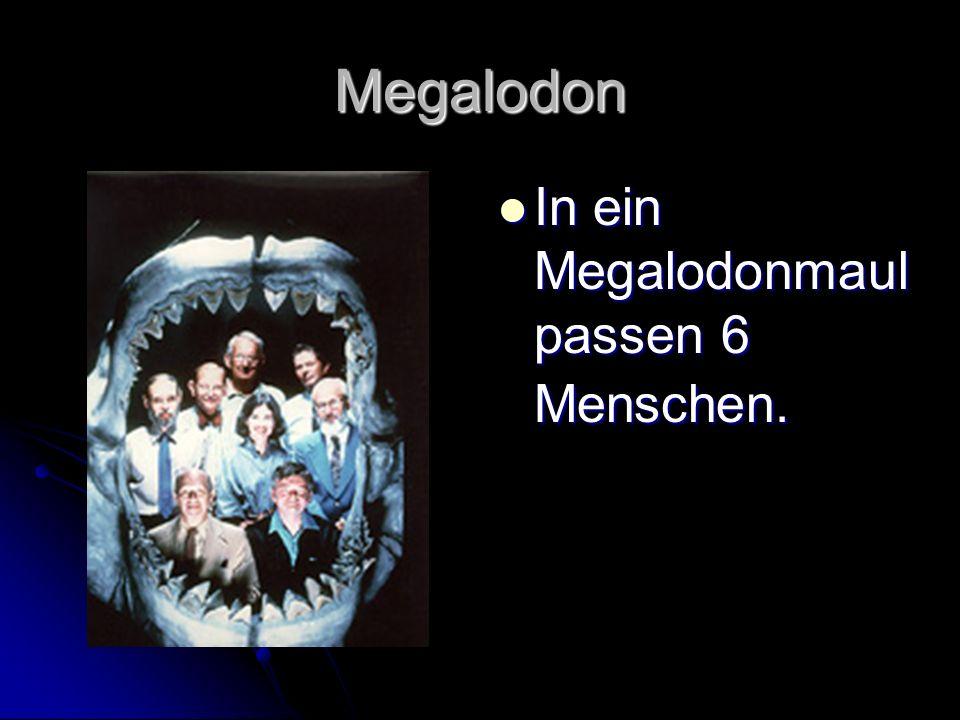 Megalodon In ein Megalodonmaul passen 6 Menschen. In ein Megalodonmaul passen 6 Menschen.