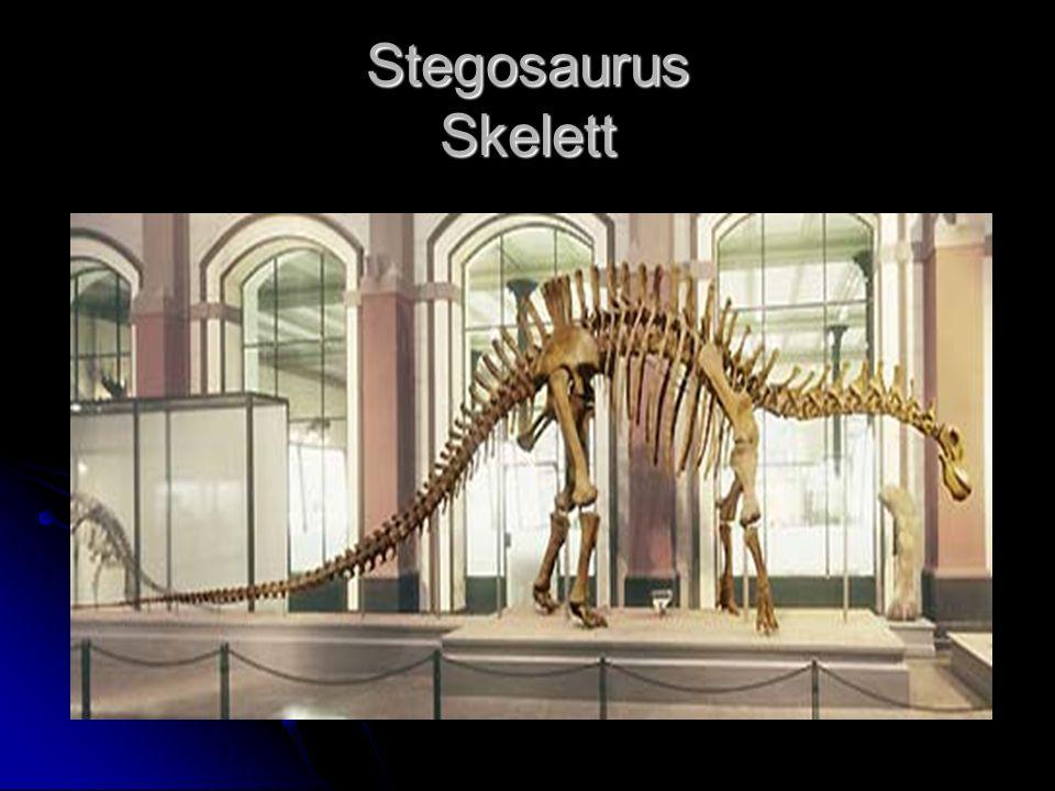 Stegosaurus Skelett