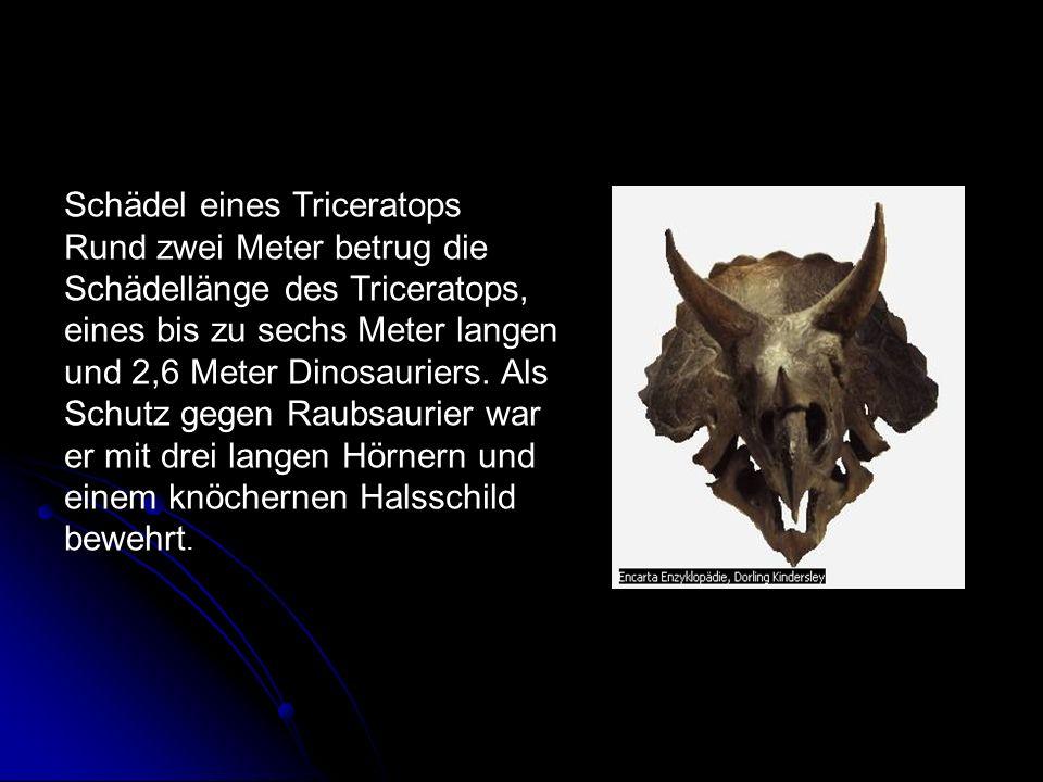 Schädel eines Triceratops Rund zwei Meter betrug die Schädellänge des Triceratops, eines bis zu sechs Meter langen und 2,6 Meter Dinosauriers. Als Sch