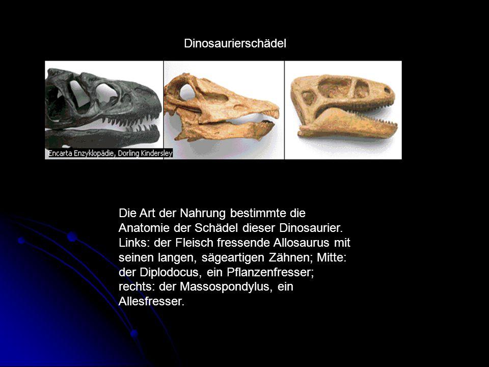 Dinosaurierschädel Die Art der Nahrung bestimmte die Anatomie der Schädel dieser Dinosaurier. Links: der Fleisch fressende Allosaurus mit seinen lange