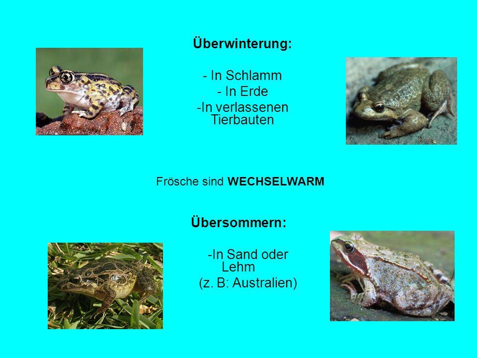 Frösche sind WECHSELWARM Überwinterung: - In Schlamm - In Erde -In verlassenen Tierbauten Übersommern: -In Sand oder Lehm (z. B: Australien)