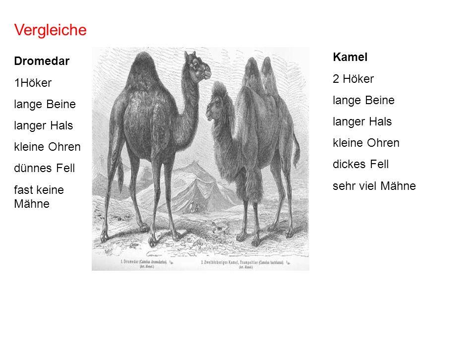 Vergleiche Dromedar 1Höker lange Beine langer Hals kleine Ohren dünnes Fell fast keine Mähne Kamel 2 Höker lange Beine langer Hals kleine Ohren dickes