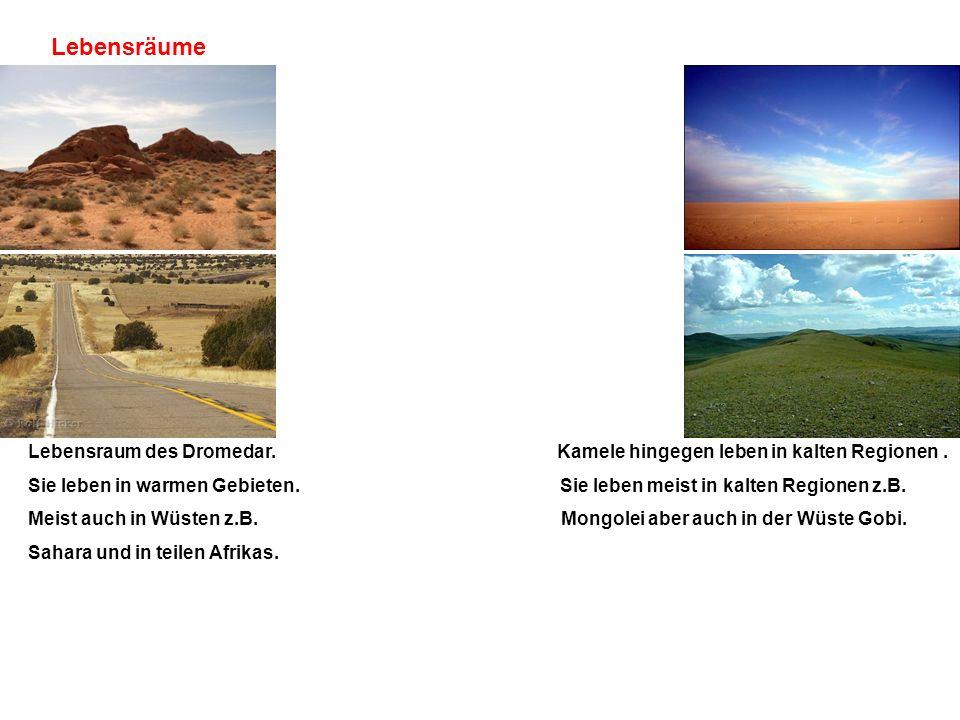 Lebensräume Lebensraum des Dromedar. Kamele hingegen leben in kalten Regionen. Sie leben in warmen Gebieten. Sie leben meist in kalten Regionen z.B. M