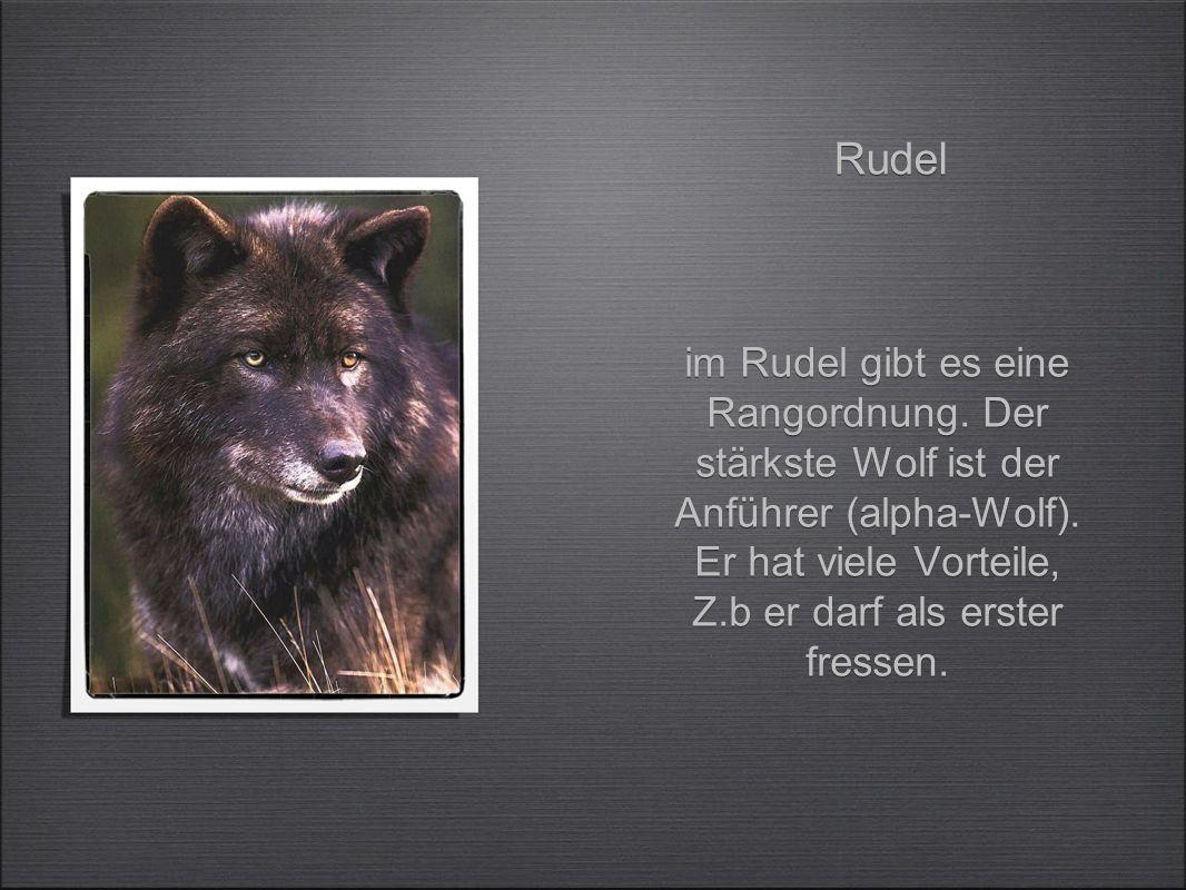 im Rudel gibt es eine Rangordnung.Der stärkste Wolf ist der Anführer (alpha-Wolf).