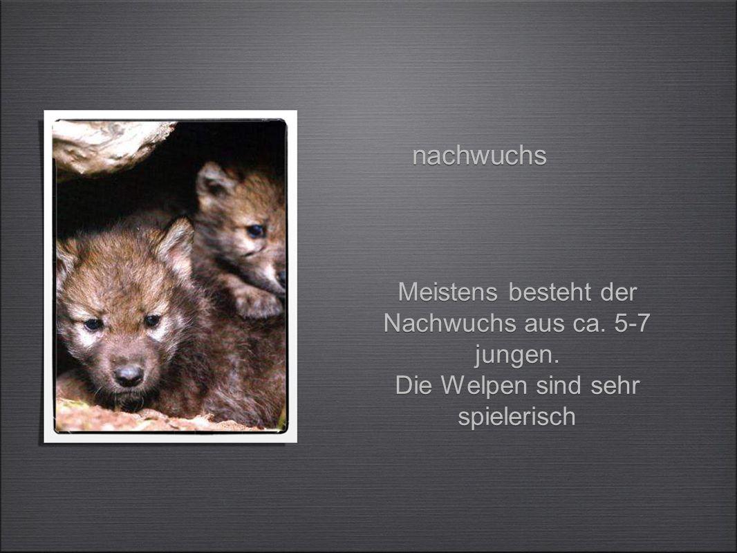 Die Wölfe jagen meistens nur die kranken Tiere.Z.b.