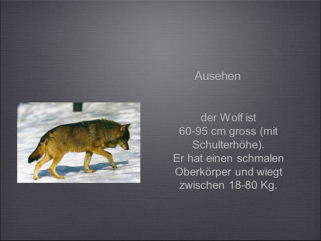 der Wolf ist 60-95 cm gross (mit Schulterhöhe).