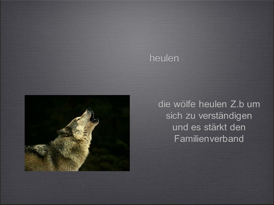 die wölfe heulen Z.b um sich zu verständigen und es stärkt den Familienverband heulen