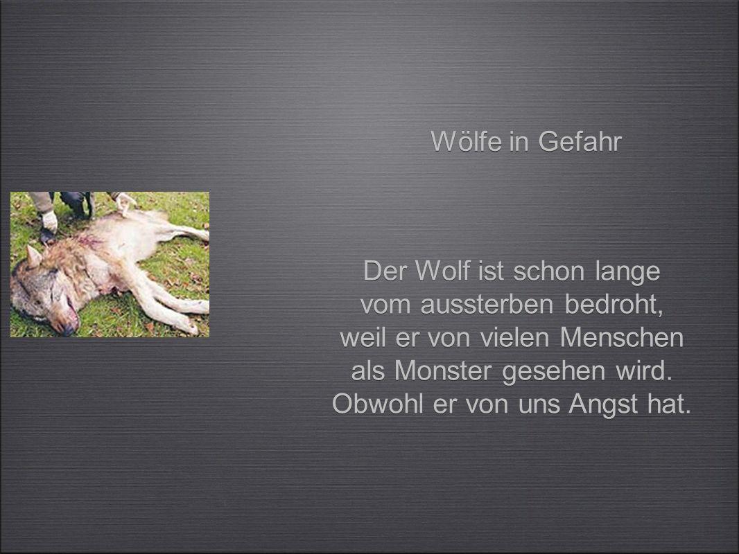 Körperbau Backenzähne Eckzähne Schneidezähne Der Wolf hat einen langen Körper.