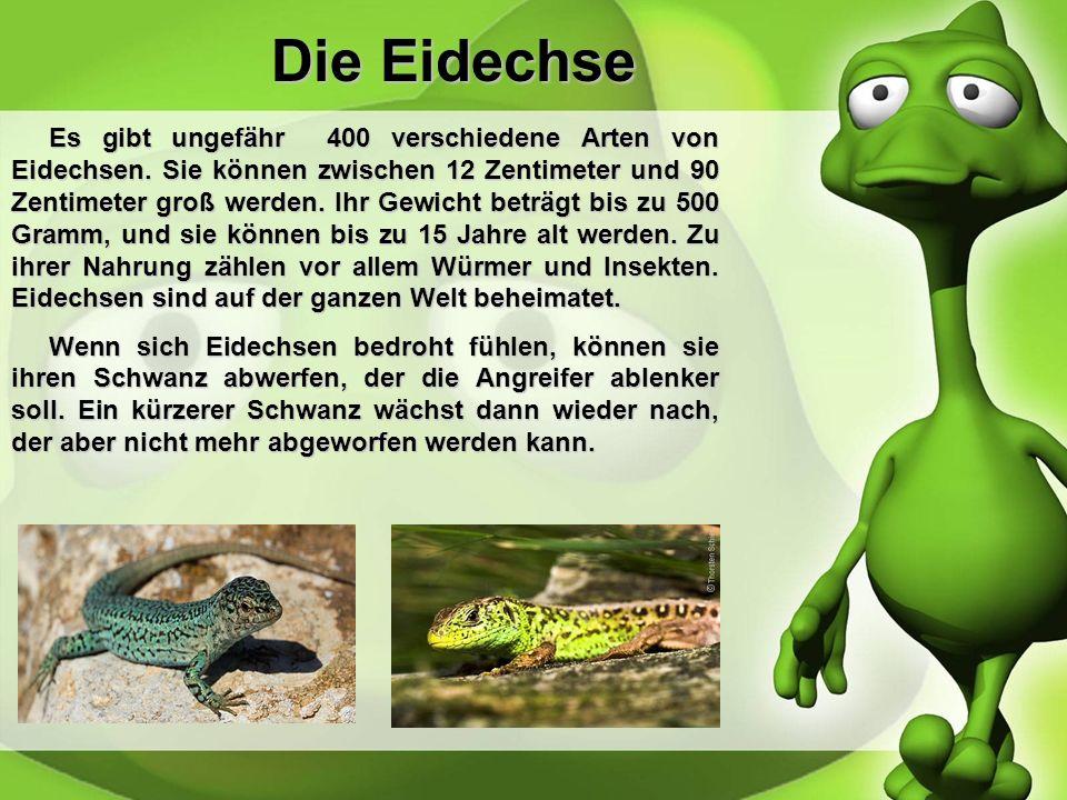 Die Bartagame Bartagamen sind,wie auch Geckos, Echsen, die bis zu 60 Zentimeter groß werden können. Ihr Gewicht beträgt bis zu 500 Gramm. Bartagamen k
