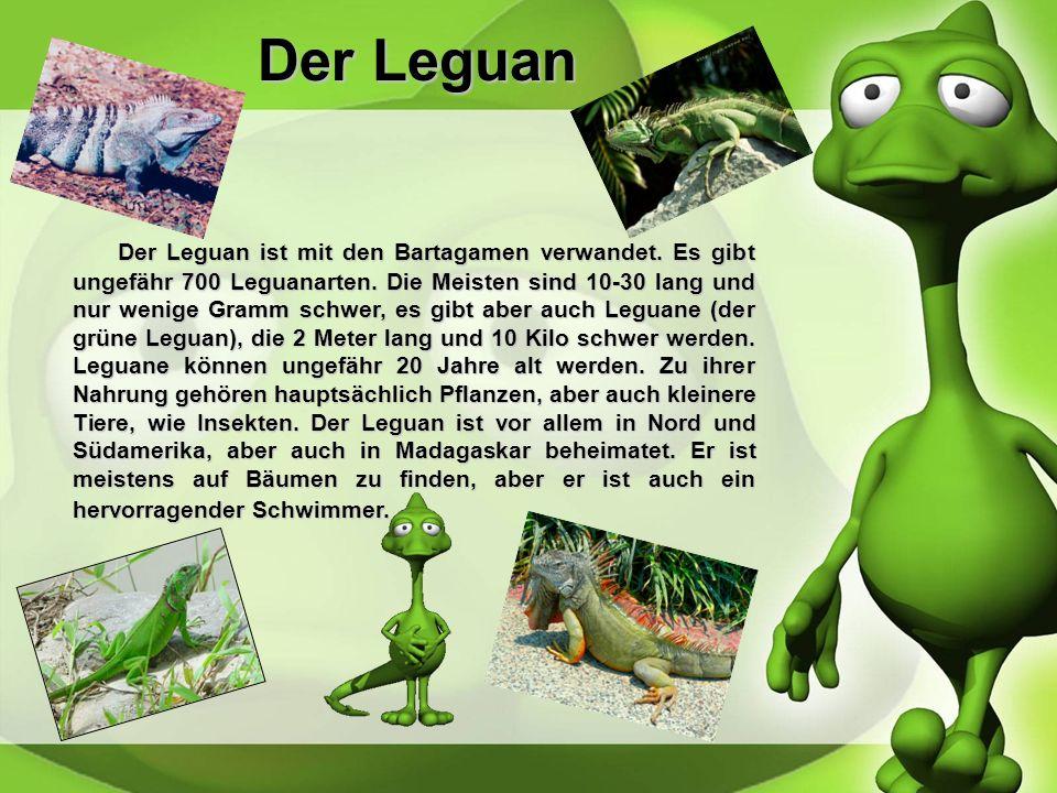 Die Eidechse Es gibt ungefähr 400 verschiedene Arten von Eidechsen. Sie können zwischen 12 Zentimeter und 90 Zentimeter groß werden. Ihr Gewicht beträ