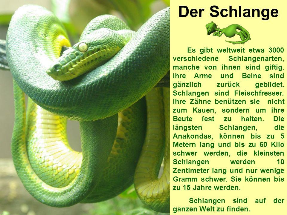 Der Schlange Es gibt weltweit etwa 3000 verschiedene Schlangenarten, manche von ihnen sind giftig.