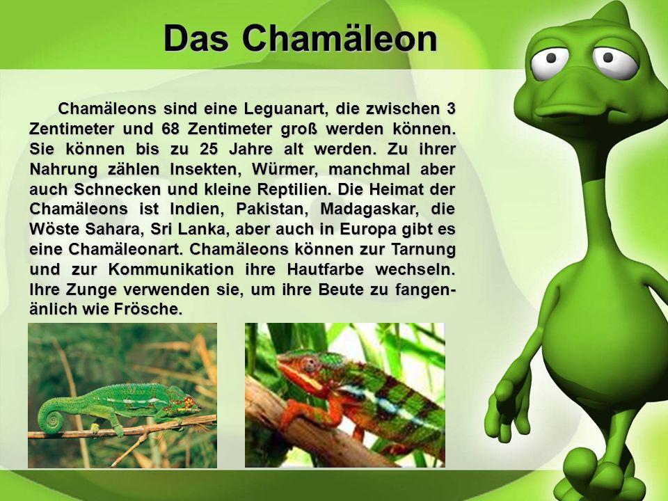 Das Chamäleon Chamäleons sind eine Leguanart, die zwischen 3 Zentimeter und 68 Zentimeter groß werden können.